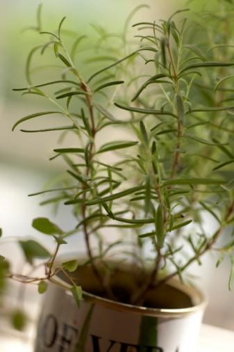 Розмарин выращивание в квартире болезни 79